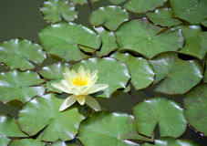 One water lily Stock Photography