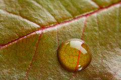 One waterdrop on a green leaf with red veins Royalty Free Stock Images