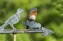 One Way Bluebird. Male Eastern Bluebird (Sialia sialis) looks in the same direction as the weathervane bird Royalty Free Stock Image