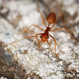 One weaver ant on stone background Royalty Free Stock Photography