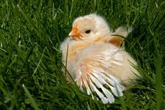 One week old chicken male, from the Hedemora breed in Sweden. The breed is a very old hardy breed in Sweden. The breed has double springs on each pen, which Royalty Free Stock Photography
