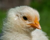 One week old chicken male, from the Hedemora breed in Sweden. The breed is a very old hardy breed in Sweden. The breed has double springs on each pen, which Stock Image