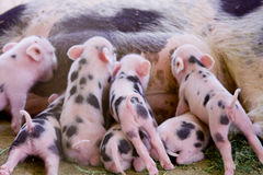 One week old fuzzy baby piglets royalty free stock images
