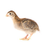 One Week Old Guinea Fowl Keet Standing Profile Stock Photos