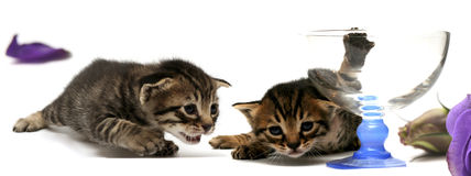 One week old kitten Stock Photography