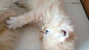 One week old kitten, brown and white feathers. stock footage