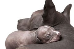 One week old puppy with mother. One week old xoloitzcuintle puppy with his mother Stock Photos