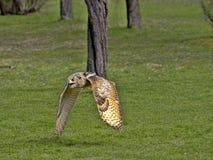 Western-headed siberian eagle owl, Bubo bubo sibiricus, in flying. One Western-headed siberian eagle owl, Bubo bubo sibiricus, in flying stock images