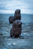 One wet Antarctic fur seal behind another Royalty Free Stock Images