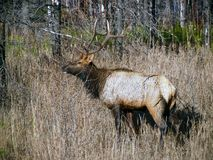 One Wet Bull Elk Royalty Free Stock Photography