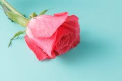 One wet red rose isolated on a aquamarine background Stock Image