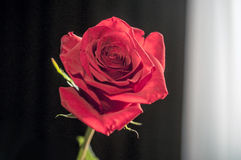 One wet red rose in vase in blurred white background. Selective focus lens effects. One wet red rose in vase in blurred white background. Selective focus lens Royalty Free Stock Image