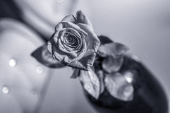 One wet red rose in vase in blurred white background. Selective focus lens effects royalty free stock photos