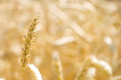 One wheat spike on field bokeh Stock Photos