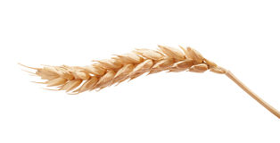 One wheat spikelet on the white. One isolated yellow wheat spikelet on the white background Stock Images