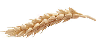 One wheat spikelet on the white. One isolated yellow wheat spikelet on the white background Royalty Free Stock Image