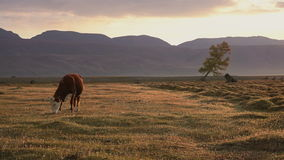 One Whit And Brown Cow Pasturing On Autumn Field With The Mountain Range On Background In The Evening. Farm Cattle Animal Browsing Through The Grass Landscape stock video footage