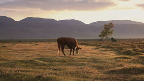 One Whit And Brown Cow Pasturing On Autumn Field With The Mountain Range On Background In The Evening. Farm Cattle Animal Browsing Through The Grass Landscape stock footage