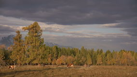 One Whit And Brown Cow Pasturing On Autumn Field With The Mountain Range On Background Under The Dark Cloudy Sky stock footage