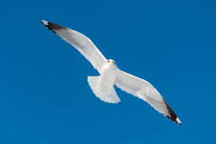 One white bird flies Royalty Free Stock Photography