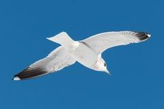 One white bird flies on sky Royalty Free Stock Photography