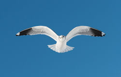 One white bird flies on sky. One white bird flies on blue sky stock photography