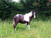 One white and black horse. Horse eating in a field Stock Image