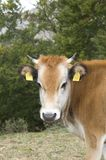 One white brown cow with bell Stock Photos