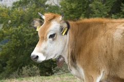 One white brown cow with bell Stock Photo