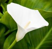 One white calla lily flower in the spring garden Stock Photos