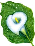 One white calla. On leaf, isolated on white background. Hand-painted watercolor illustration and paper texture Royalty Free Stock Photography