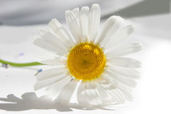 One white chamomile lying on white paper Stock Image