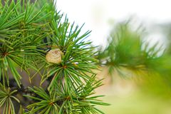 One white shell on pine leaf royalty free stock photo