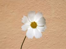 One White Cosmos Flower and Beige Wall royalty free stock images