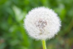 One white dandelion flower royalty free stock photography