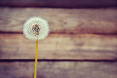 One white dandelion Royalty Free Stock Images