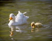 One white duck with her duckling. In a pond Royalty Free Stock Photo