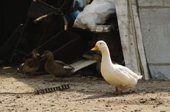 One white duck and two brown ones in the courtyard in the village stock image