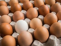 One white egg among brown in the tray. One whione white egg among brown in the tray Stock Image