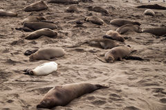 One white elephant seal among brown seals Stock Photos