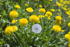 One white fading dandelion among yellow dandelions Stock Photo