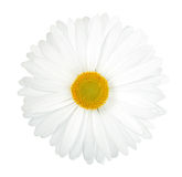 One white flower Stock Images