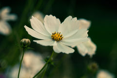 One white flower Stock Photography