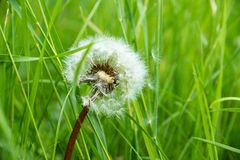 One white flower dandelion closeup Stock Images