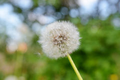 One white fluffy dandelion Stock Photos