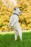 One white french bulldog Stock Photos