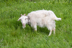 One white goat grazing on green grass in a field Royalty Free Stock Photo