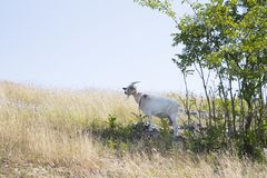 One white goat Royalty Free Stock Images