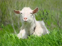 One white goat lying on green grass in a field.  Royalty Free Stock Image