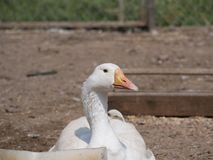 One white goose on a country farm. tamed goose on a Sunny summer day stock images